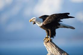 bald-eagle-small-jpg