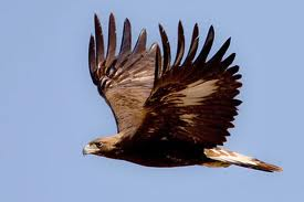 golden-eagle-jpg
