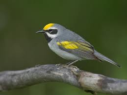 golden-winged-warbler-jpg