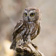 saw-whet-owl-small-jpg