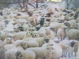 sheep-dogs-and-sheep-amherst-island