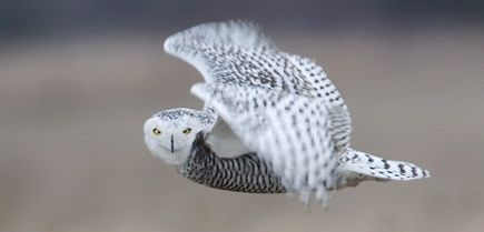 Snowy Owl Eyes Right birdsbykim.jpg