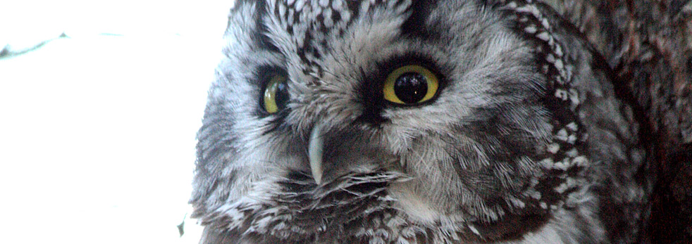 Up to 11 Species of Owls At Risk